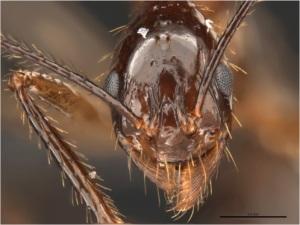 A. feae head