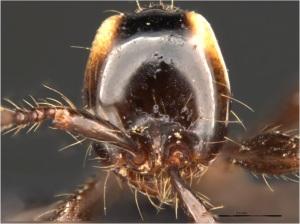 aenictus sp.1 head