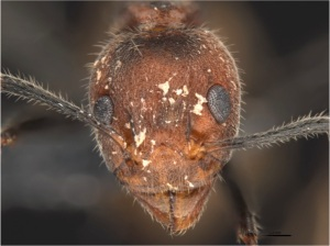 D. affinis head